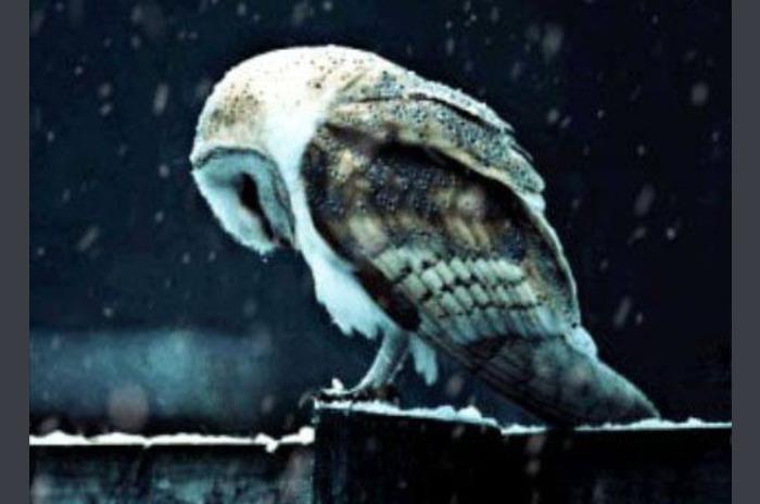 Uil onder sneeuwval LWP