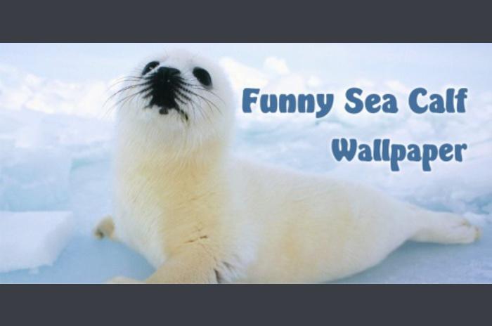 Grappig Sea Kalf Wallpaper